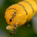 Yellow Cloudless Sulfur Caterpillar with Argentine ants