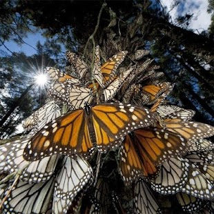 Butterflies Jigsaw Puzzles - screenshot thumbnail