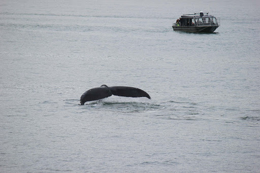whale - Loved spotting a humpback whale pop above the surface at Auke Bay, outside Juneau.