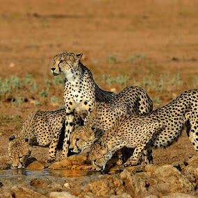 Cheetah at Waterhole by Jan Jacobs - Animals Lions, Tigers & Big Cats