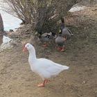 Mallards & a Goose