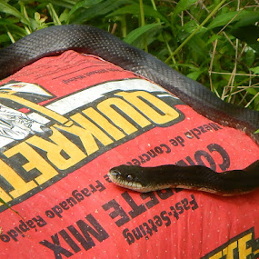 Black Snake getting some sun by Patrick Jones - Animals Reptiles ( snake, summer, black )