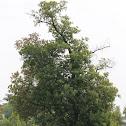 American smoketree