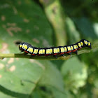 Noctuid moth caterpillar
