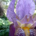 Stool Iris