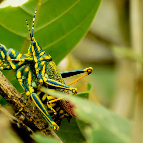 Ak Grasshopper - Poekilocerus pictus by Faizan Hussain - Animals Insects & Spiders ( nature, colorful, trees, mating, insects, close up, grasshopper )