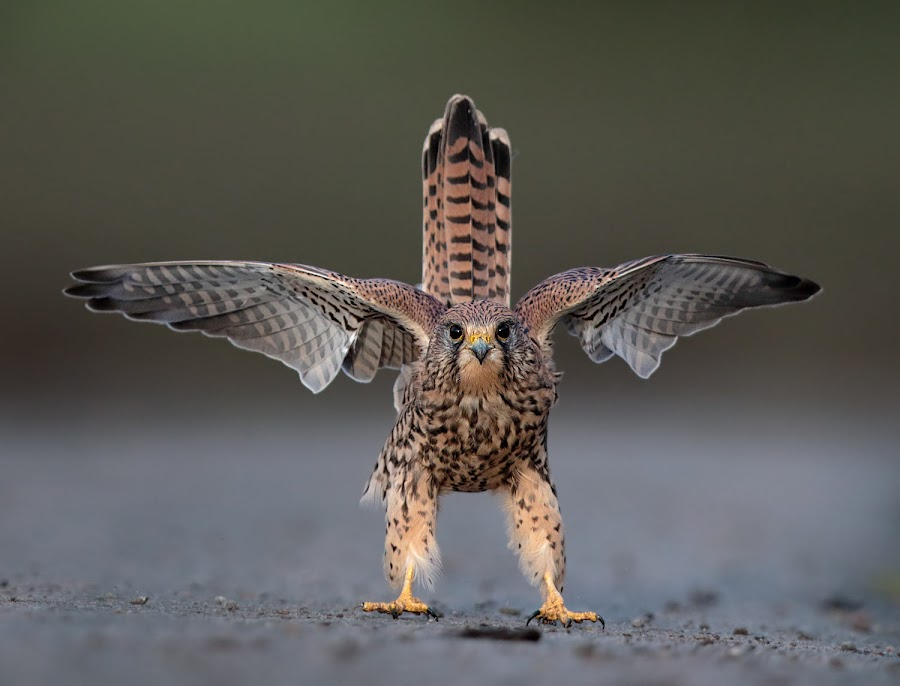 Stand and deliver... by Austin Thomas - Animals Birds ( bird of prey, stand, funny, feet, kestrel )