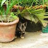 Tabby Cat(Kitten)