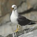 黑尾鷗 / Black-tailed Gull