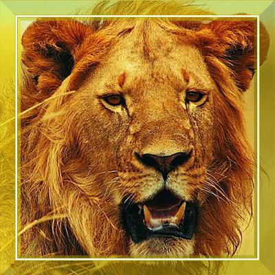 Лев дикий охота живые обои