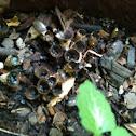 Uncapped fungi