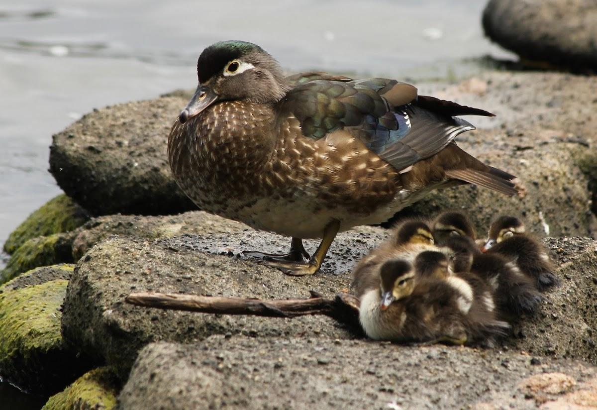 Wood Duck & ducklings