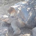 Santa Cruz Galapagos Tortoise