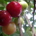 Indian plum / Coffee plum
