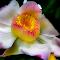 Gustavia Augusta-Flower-Soft.jpg