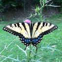 Eastern Tiger Swallowtail (female)