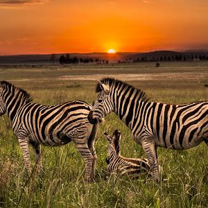 Zebra Morning 99.jpg