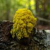 Dog vomit slime mold