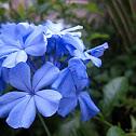 Blue Plambago