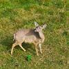 Venado Gris / Grey Deer