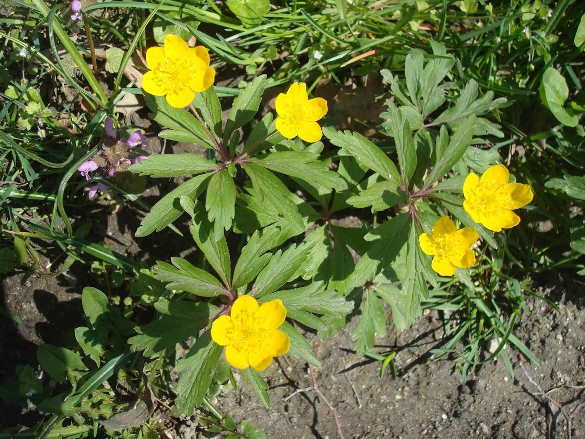 Yellow Wood Anemone / Žuta šumarica