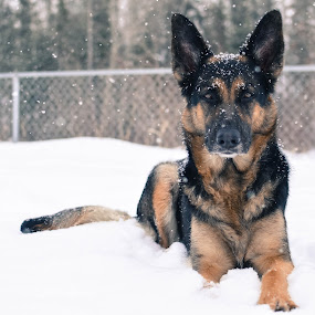 The Face by Mikahla Dorey - Animals - Dogs Portraits ( snow, dog, german shepherd, snowing )