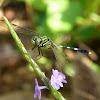 Slender Skimmer / Green Marsh Hawk