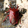 Giant Stink Bug ♂