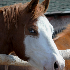 Blue eyes by Janet Gilmour-Baker - Animals Horses ( ranch, animals, horses, saskatchewan, blue eyes, blue eyed horses,  )