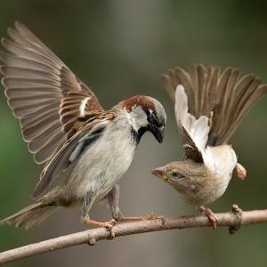 passer-sparrow-100.jpg