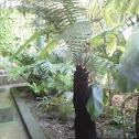 Helecho árbol