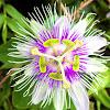 Flor de Parchita