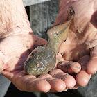 River Swamp Frog Tadpole