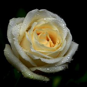 by Lazuardi Normansah - Flowers Single Flower