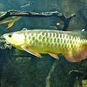 Malaysian Golden Arowana