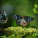 Dark Blue Tiger Butterflies