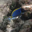 Powder-blue Surgeon Fish