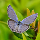 Tailed Cupid Butterfly