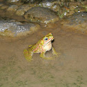 Evergreen Toad