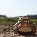 Common Toad couple