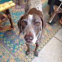 Cooper  German Shorthair Pointer