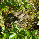 Massassauga Rattlesnake