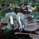Lyophyllum decastes group