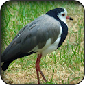 Lapwing Wallpapers icon