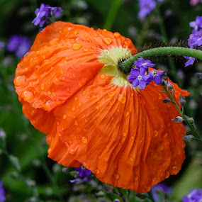 After the rain by Avtar Singh - Flowers Flowers in the Wild ( flwoers, bokeh background, avtar singh, green leaves, orange colour, rain drops on petals, purple colour )