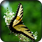 Yellow Butterfly Wallpapers
