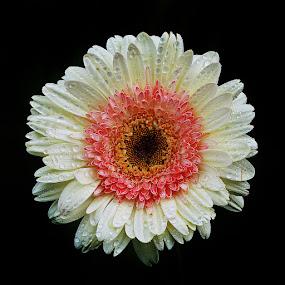 Pure love by Monique Sjarief - Flowers Single Flower