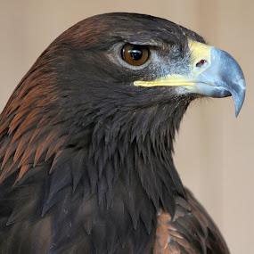 Golden Eagle by Sandra Blair - Animals Birds ( bird, predator, eagle, nature, raptor )