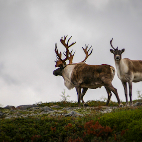 Trophy Woodland Caribou by Eugene Ball - Animals Other Mammals ( newfoundland, stag, mammal, caribou, animal, deer,  )