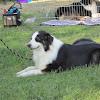 Dog (Australian Shepherd)